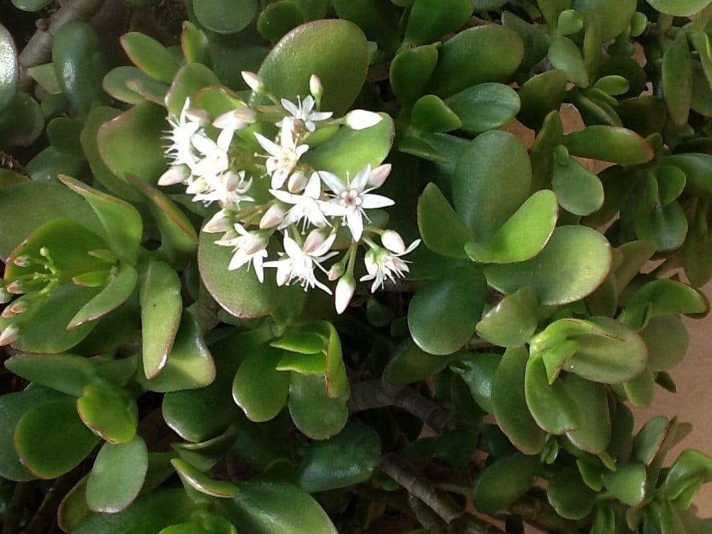 8 plantas venenosas para os seres humanos - Plantas ornamentales venenosas ...