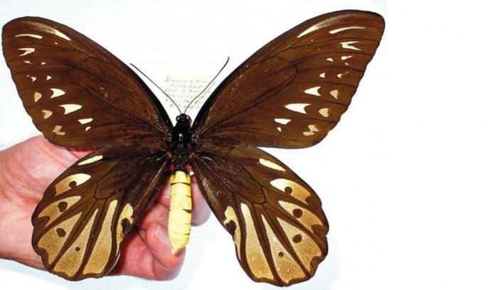 Conheça os 10 maiores insetos do mundo