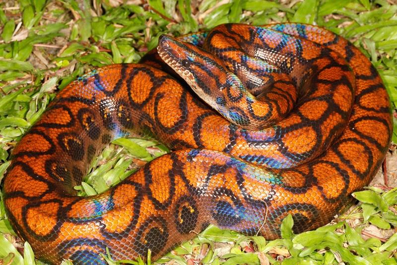Jiboia arco-íris da Amazona