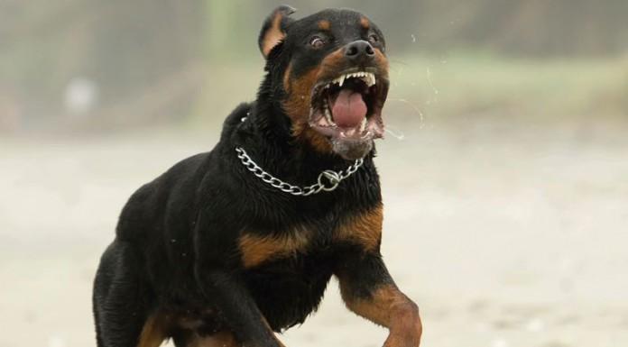 Os cachorros mais bravos do mundo