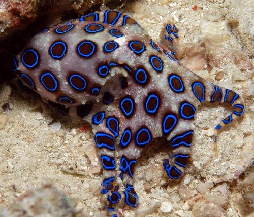Polvo de anéis azul - Os animais mais perigosos do mundo
