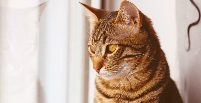 Câncer em gatos