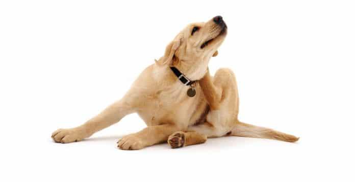 Combate de pulgas e carrapatos - cachorro se coçando