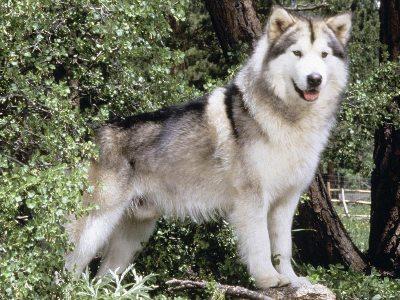 malamute do alasca