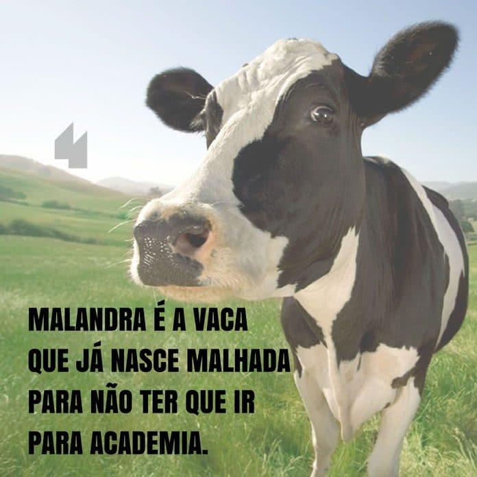 Frases de motivação - Malandra é a vaca que já nasce malhada para não ter que ir para a academia.