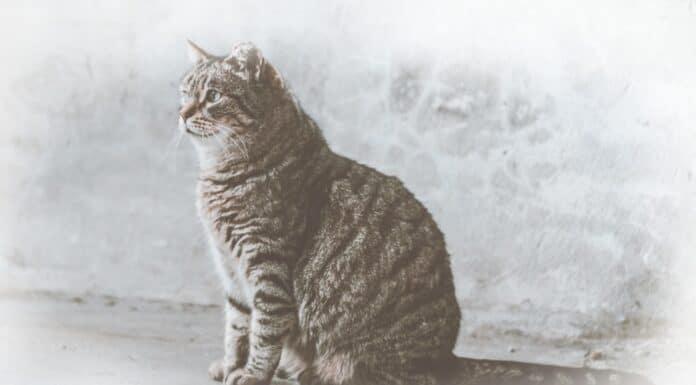 O que significa sonhar com gato